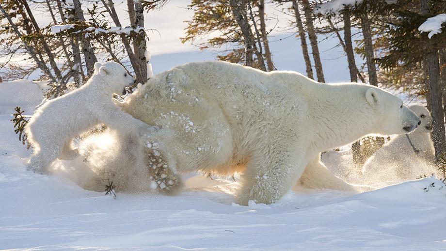 13 dní v mraze pre fotografie mláďat polárneho medveďa… Daisy Gilardini